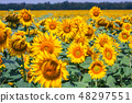 field full of sunflowers at sunny day 48297551