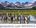 King Penguins on Salisbury Plains 48300335