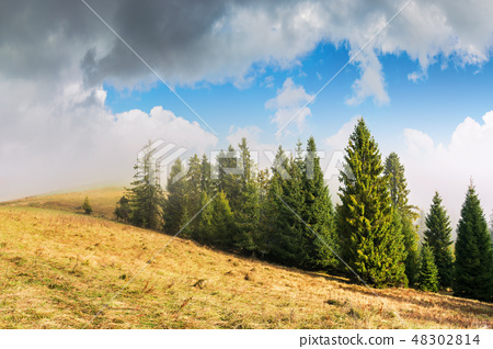 coniferous forest on the hillside in fog 48302814