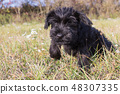 The puppy of Giant Black Schnauzer Dog is jumping 48307335