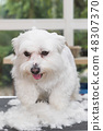 The Maltese dog is standing in a pile of cut hair 48307370