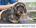 Trimming the head of Dachshund wire haired dog 48307382