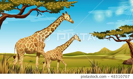 Giraffes in african landscape 48310707