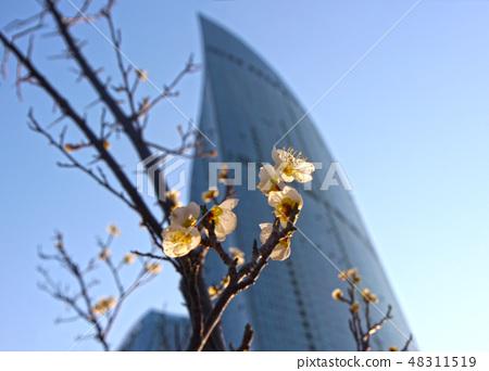 해운대 마린시티에 핀 이른 봄날의 매화꽃 48311519