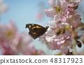 코 나비와 눈 까기 벚꽃 48317923