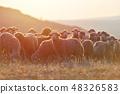 羊 绵羊 羊群 48326583