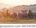 羊 绵羊 羊群 48326589