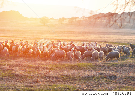 Flock of sheep at sunset with warm lens flare 48326591