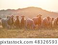 羊 绵羊 羊群 48326593