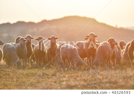 Flock of sheep at sunset with warm lens flare 48326593