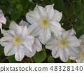 白色鐵線蓮花瓣 48328140