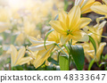 Close up yellow Lilly blooming in the garden 48333647