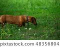 Rusty red Dachshund dog in green grass 48356804