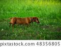 Rusty red Dachshund dog in green grass 48356805