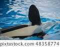 Close up of a flipper of an orca 48358774