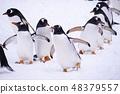 펭귄 雪中 산책 48379557