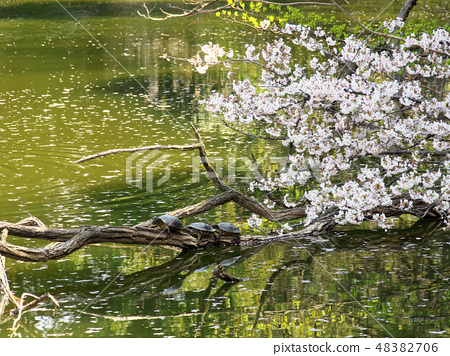 Parent and child of spring and pond of turtle 48382706
