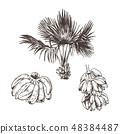 Vector Illustration of palm tree and banana fruit sketch for design, website, background, banner 48384487