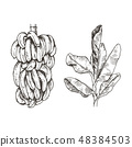Vector Illustration of palm tree and banana fruit sketch for design, website, background, banner 48384503