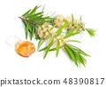 Melaleuca tea tree essential oil with twig 48390817