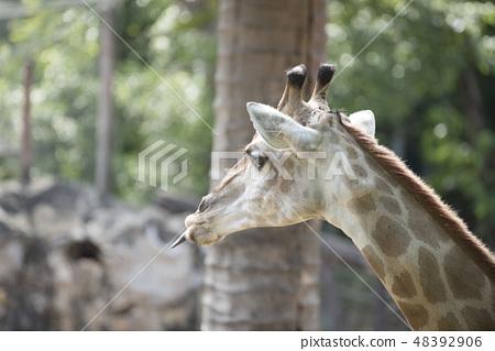 animal, giraffe 48392906