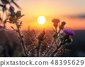 Wild, Prickly thistle flower blooming during sunrise 48395629