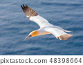 flying northern gannet, Helgoland Germany 48398664