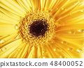 Yellow gerbera and dew 48400052