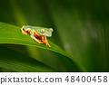 Golden-eyed leaf frog, Cruziohyla calcarifer 48400458
