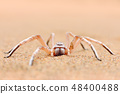 Golden wheel spider, Carparachne aureoflava 48400488
