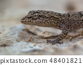 Head of Gecko on light colored rock 48401821