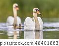 Mute swan family 48401863