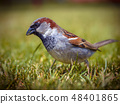 Male house sparrow in grass 48401865