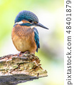 European Kingfisher looking down 48401879