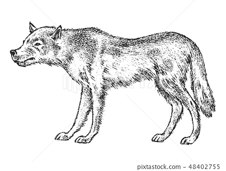 Gray wolf, Wild animal. Symbol of the north and the forest. Vintage monochrome style. Predator in 48402755