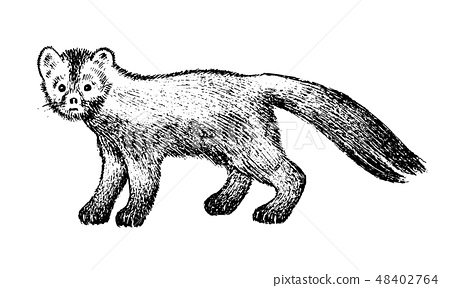 Wild sable, forest animal. Symbol of the north. Vintage monochrome style. Mammal in Europe, Russia 48402764