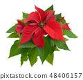 Red Poinsettia isolated 48406157