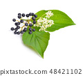 Swida or dogwood. Isolated on white background 48421102