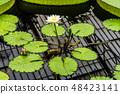 Water lilies at Kew Gardens in London 48423141