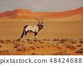 Gemsbok with orange sand dune evening sunset 48424688