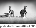 Zebra with clear sky. Black and white art photo 48424705