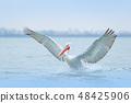 Bird with morning sunrise, Dalmatian pelican 48425906