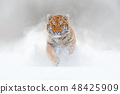 Tiger running in the snow, wild winter nature. 48425909