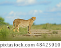 Cheetah in grass, blue sky with clouds. 48425910