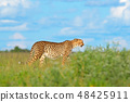 Cheetah in grass, blue sky with clouds. 48425911