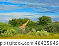 Giraffe, green vegetation with animal. 48425949