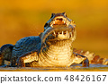 Yacare Caiman, crocodile with fish in the mouth 48426167
