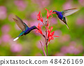 Big blue hummingbird Violet Sabrewing in flight 48426169
