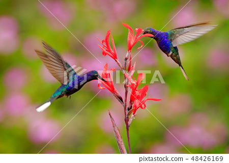 Big blue hummingbird Violet Sabrewing in flight 48426169