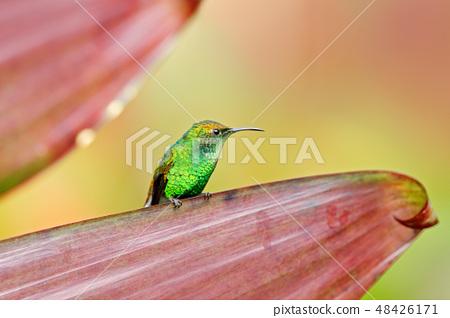 Coppery-headed Emerald, Elvira cupreiceps 48426171